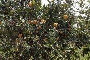 arance biologiche