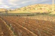 vitigno cannonau