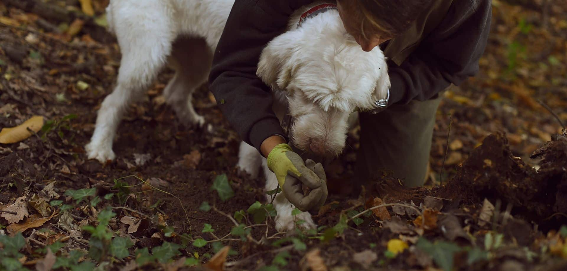 White truffle hunting in Alba