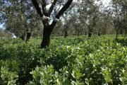 inerbimento oliveto