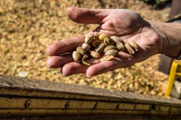 pistacchio di bronte raccolta