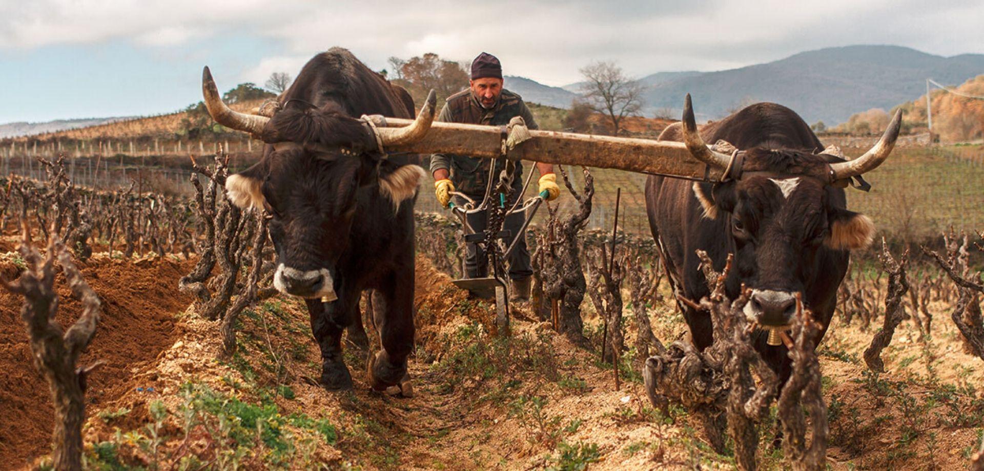 Tra i filari di uve Cannonau