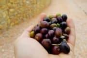 olio oliva veneto presidio slow food