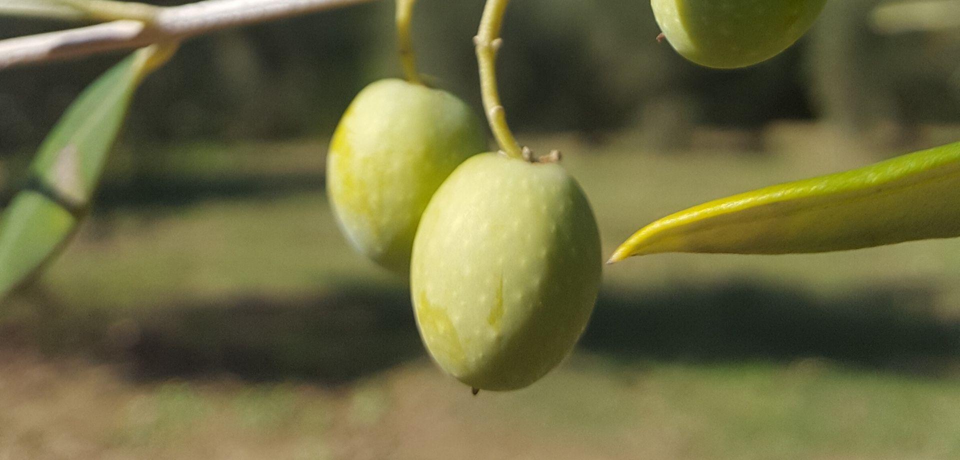 Itinerario sulle olive toscane di Seggiano