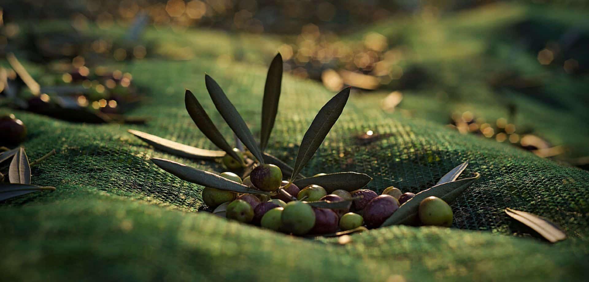 Tour sull'olio di olivastra seggianese