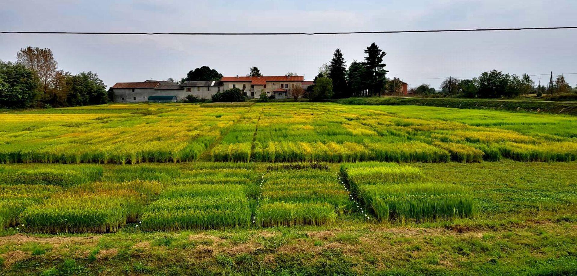 Analisi sensoriale del riso