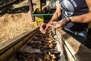 coltivazione pistacchio