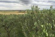 olive peranzane