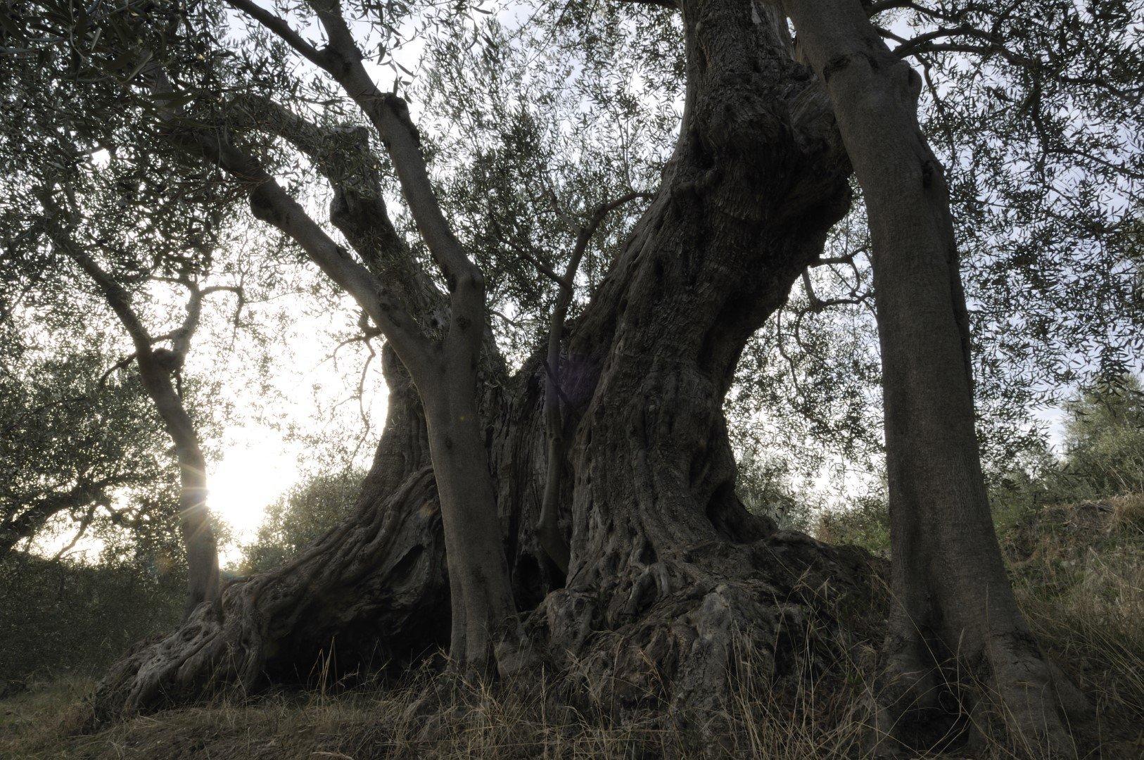 piante di olivo