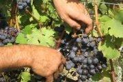 uva italia maturazione