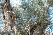 alberi d'ulivo