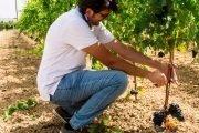 viticoltura siciliana