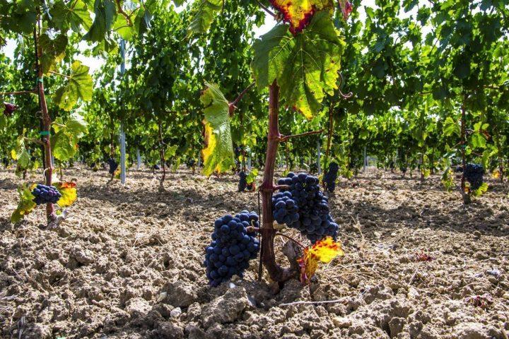 perricone vitigno