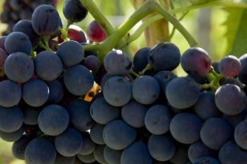 biodinamici vini