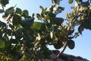 pianta di pistacchio