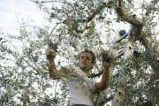 raccogliere olive