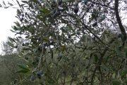 pianta d'italia