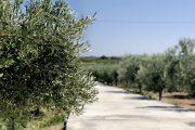 uliveto o oliveto
