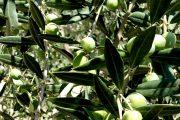 quando si raccolgono le olive