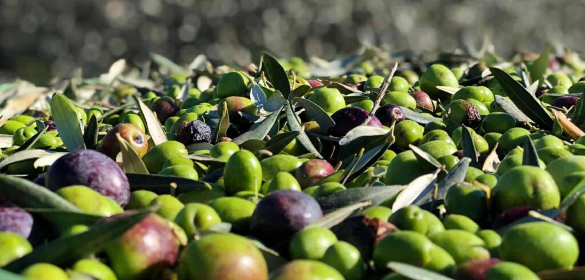 Vivi la raccolta olive a mano ad Agrigento