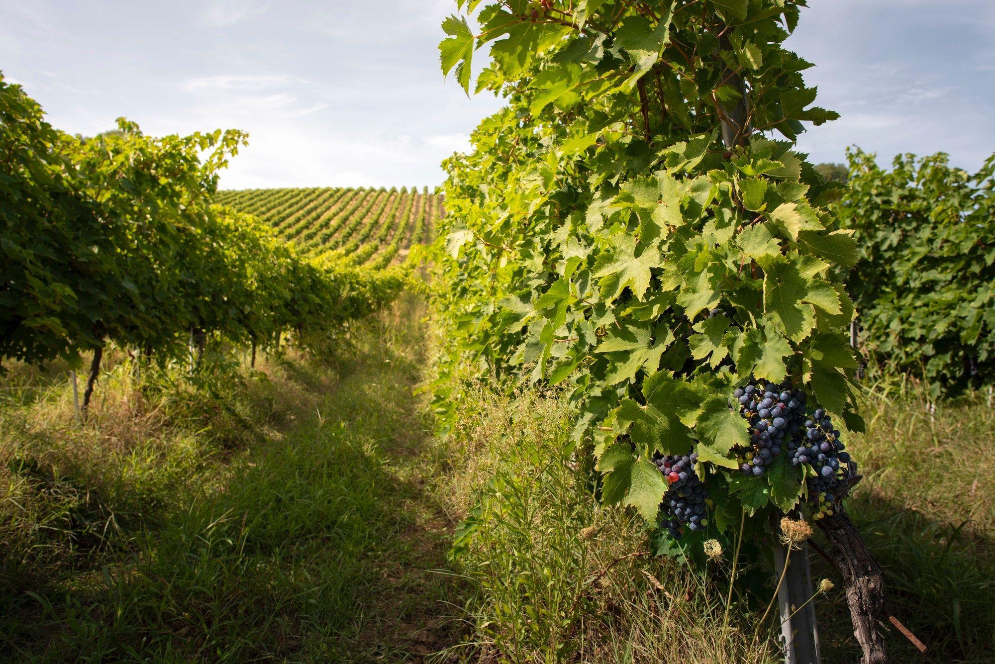 vini rossi italiani famosi